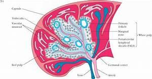 Secondary Lymphoid Organs - Heavy Chain