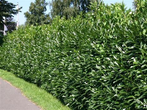 kirschlorbeer hecke pflanzen kirschlorbeer lorbeerkirsche caucasica prunus