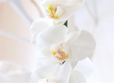 fiori per ringraziare il significato dei fiori un orchidea per ringraziare