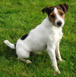 Le Chien Russel by File Parson Russell Terrier Jpg Wikipedia