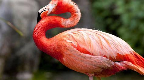 flamingo bird sounds youtube
