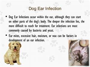 Ear Infection in Dogs: Causes, Treatments and Prevention