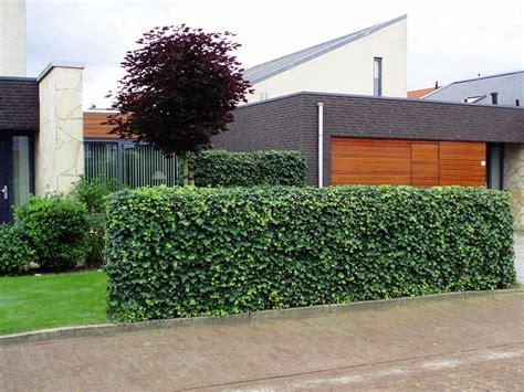 Efeu Hecke Co Sichtschutz Im Garten by Gabionenzaun Mit Hecke Gabionenwand Und Gabionenzaun 50
