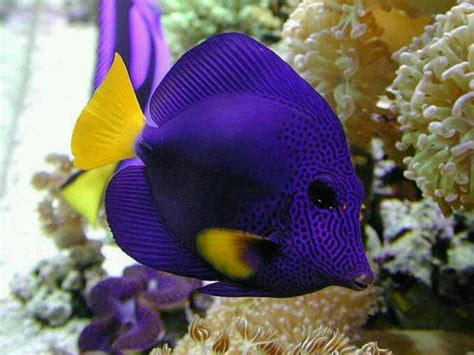 saltwater fish exotic saltwater fish tropical fish pinterest salts exotic and purple
