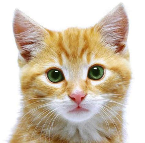 Cats With Green Eyes Wallpapers & Beautiful Hd Pictures