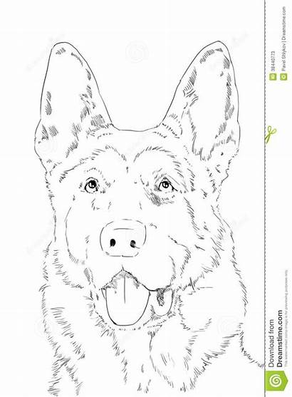 Berger Portrait Pencil Allemand Herder Shepherd German