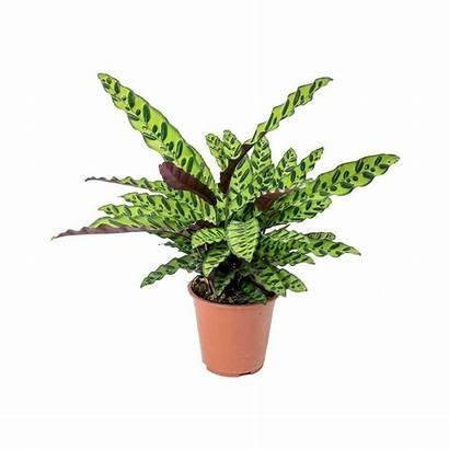 Calathea Lancifolia Plant Rattlesnake Plants Indoor Tall