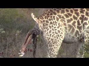 Incredible  Giraffe Giving Birth In The Wild