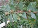 Euphorbia; Crown of Thorns; Spurge