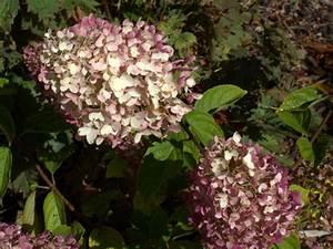 Hydrangea Paniculata Schneiden : rispenhortensien schneiden rispenhortensien schneiden ~ Lizthompson.info Haus und Dekorationen