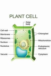 Plant Cell Anatomy Labeled Chart Diagram Cool Wall Decor