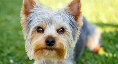 6 Things You Need To know Before You Get A Yorkie | Yorkie ...