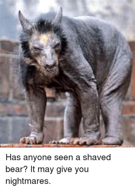 Hairless Bear Meme - shaved bear meme 28 images hairless bear best 25 shaved bear ideas on pinterest which