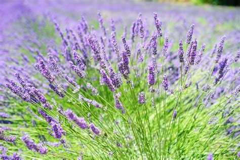 Close-up Photo of Lavender Growing on Field · Free Stock Photo