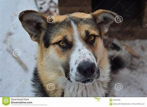 Portrait Of Dog - Siberian Husky Stock Image - Image of ...