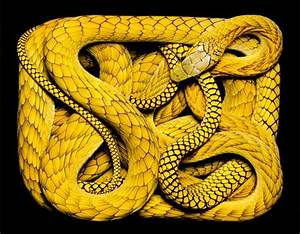 western-green-mamba- | Yellow snake, Beautiful snakes, Snake