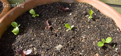 Urban Gardening Growing Lettuce And Salad Leaves In Containers