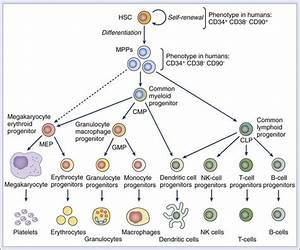 Stem Cells  Cell Differentiation  And Cancer