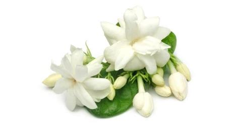 Gardenia Extract Benefits by Benefits Of For Your Hair Skin And