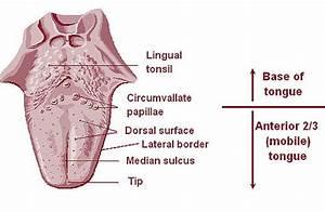 Lingual tonsils - Wikipedia