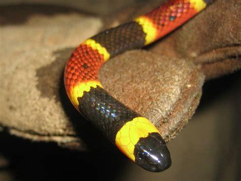 florida snake photograph closeup eastern coral snake