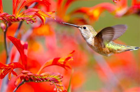great plants  attract hummingbirds tomlinson bomberger