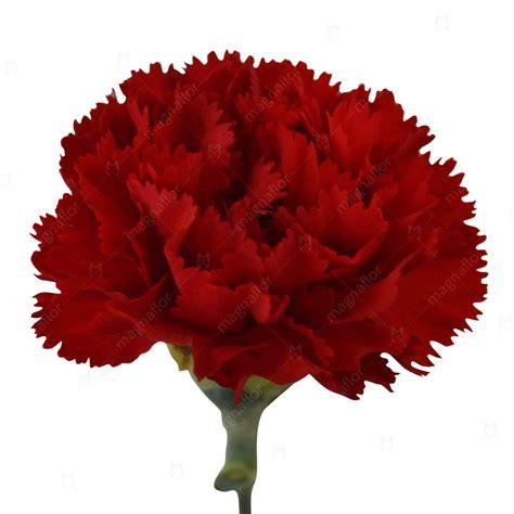 red carnation flower wholesale flowers   magnaflor