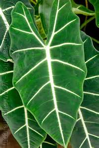 Tropical Plants with Large Leaves