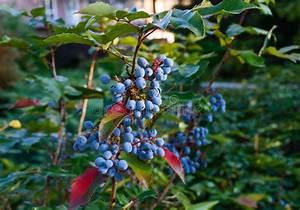 Busch Mit Roten Beeren : dekorativer busch mit blauen beeren f r quadrat park garten stockfoto bild von abschlu ~ Orissabook.com Haus und Dekorationen