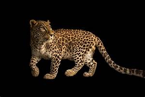 Persian Leopard | RARE: Creatures of the Photo Ark ...