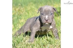 American Pit Bull Terrier Puppies