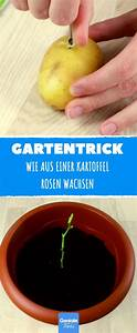 Dünger Für Zitronenbaum : du steckst eine rose in eine kartoffel und pflanzt sie ein zitronenbaum garten pflanzen ~ Watch28wear.com Haus und Dekorationen
