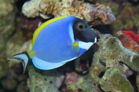 powder blue surgeonfish powder blue tang
