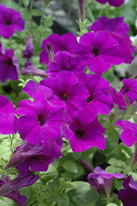 easy wave petunias easy wave blue petunia petunia easy wave blue in st charles cton geneva elgin chicago