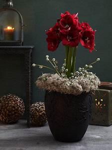 Amaryllis In Der Vase : ppige bl tenpracht dank saisonblume amaryllis ~ Lizthompson.info Haus und Dekorationen