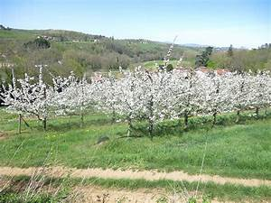 Planter Un Cerisier : planter un cerisier quand ~ Melissatoandfro.com Idées de Décoration