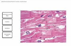 Label The Structures Found In Cardiac Muscle Tissue ...