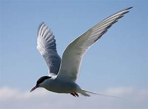 BTO Bird Migration Blog: Arctic Terns aplenty. | Arctic ...