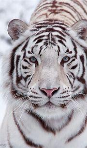 25 Best White Tiger Photographic (с изображениями ...
