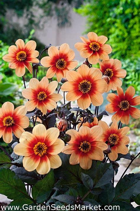 Dālijas - Sunshine - Dahlia - Garden Seeds Market ...