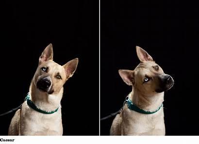 Carolina Dog Dogs Tan Carolinas Traits Breeds