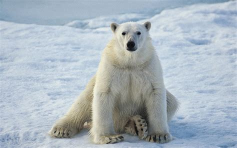 Polar Bear Predators Polar Bear Facts And Information