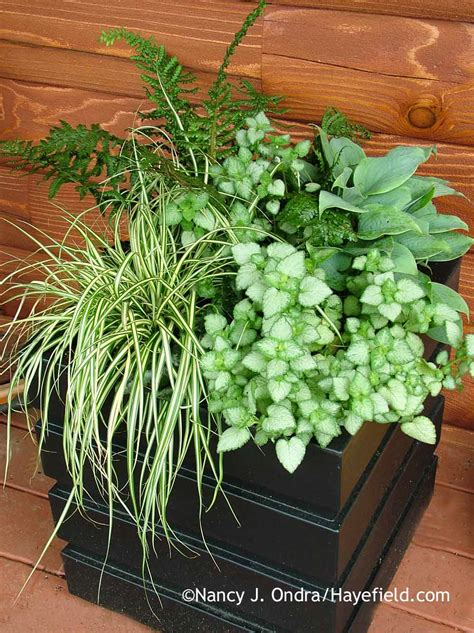 plants for containers tall plants for containers pictures to pin on pinterest