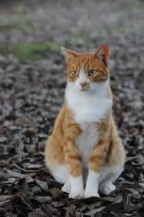 orange tabby cat file orange tabby cat sitting on fallen leaves hisashi 01