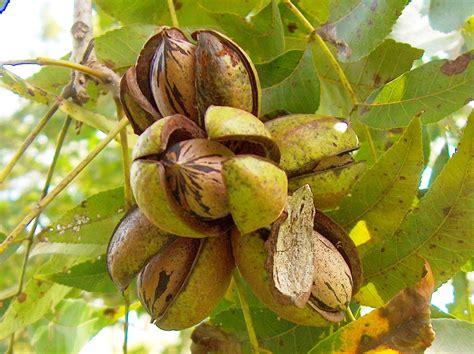 diario   natureza  de julho noz peca fruto semente flor carya illinoinensis
