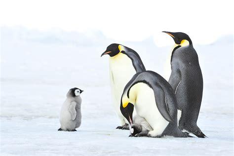 emperor penguins  antarctica inger vandyke