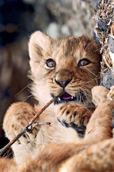 adorable lionceau en pleine degustation animales
