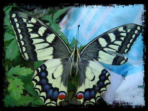 la vie d un papillon blog fluctuant