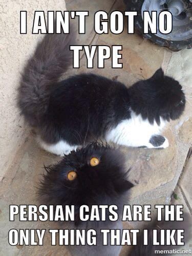 Persian Cat Meme - cat memes persian and cats on pinterest