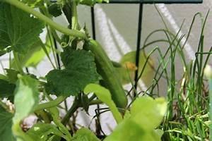 Gurken Pflanzen Gewächshaus : m rz jetzt rankhilfen f r tomaten gurken und bohnen besorgen pflanzen auf stroh ~ Pilothousefishingboats.com Haus und Dekorationen
